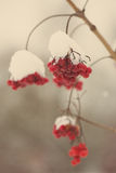 Red berries in the snow with frost - aged photo Stock Photo