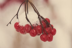 Red berries in the snow with frost - aged photo Stock Photos
