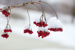 Red berries in the snow with frost Stock Photo