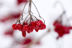 Red berries in the snow with frost Stock Photography