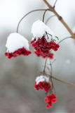 Red berries in the snow with frost Royalty Free Stock Images