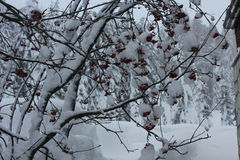 Red Berries and the snow Royalty Free Stock Image