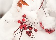Red Berries in the snow Stock Photo