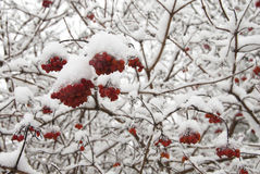 Red Berries in Snow. A tree laden with red berries and covered in fresh snow Royalty Free Stock Photos