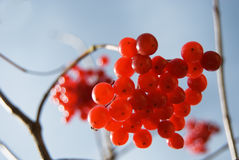 Red berries of snowball tree (viburnum) Royalty Free Stock Photos