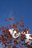 Red berries on snowy tree Royalty Free Stock Photography