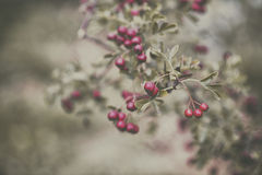 Red Berries. Soft-focus of red berries on a plant Royalty Free Stock Photo