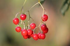 Red berries of Solanum dulcamara or bittersweet nightshade. Ripe red berries of Solanum dulcamara or bittersweet nightshade stock photography