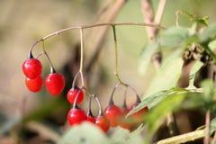 Red berries of Solanum dulcamara or bittersweet nightshade. Ripe red berries of Solanum dulcamara or bittersweet nightshade stock image