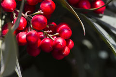 Red berries in spring Royalty Free Stock Photo