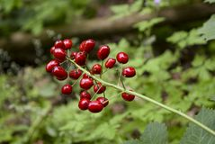 RED BERRIES ON A STEM WITH BLURRED BACKGROUND. Brilliant red berries on the end of a stem stock images