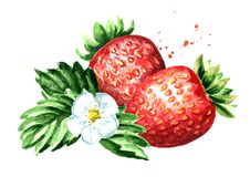 Red berries strawberry with flower and green leaves. Watercolor hand drawn illustration  isolated on white background. Red berries strawberry with flower and Stock Photos