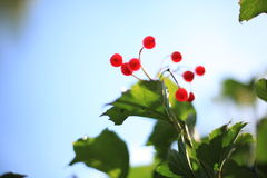 Red berries. Street close-up abstract background Royalty Free Stock Image