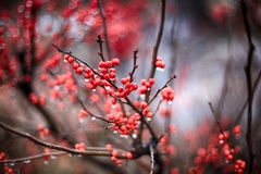 Red berries. Street close-up abstract background Royalty Free Stock Photos