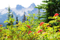 Red berries with Tatoosh range Royalty Free Stock Images