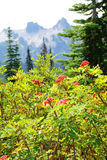 Red berries with Tatoosh range Royalty Free Stock Photos