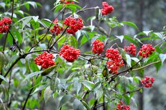 Red Berries in Tatry Stock Photography