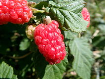 Red berries - tayberry stock photos
