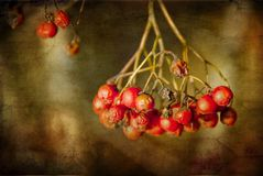 Red berries on a textured background Royalty Free Stock Photos