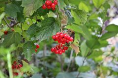 Red berries on a tree in autumn. Viburnum. Red berries on a tree in autumn stock image