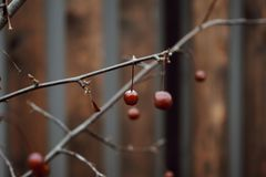 Red berries close-up tree branch wood fence autumn nature blur background. Red berries tree branch autumn nature outdoors wood fence blur background Royalty Free Stock Photos