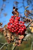 Red berries on tree in countryside in autumn stock photo