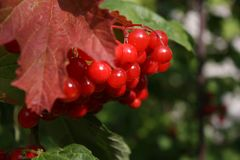 Red berries on a tree. In the early autumn Royalty Free Stock Photography
