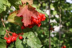 Red berries on a tree. In the early autumn Royalty Free Stock Image