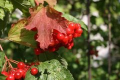 Red berries on a tree. In the early autumn Royalty Free Stock Images