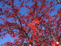 Red berries on a tree Royalty Free Stock Images