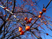 Red berries on a tree Royalty Free Stock Photos