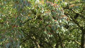 Red berries on the tree stock video footage