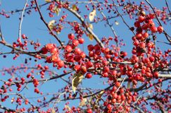 Red berries on a tree Stock Images