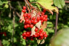 Red berries on a tree. In the early autumn Stock Photos