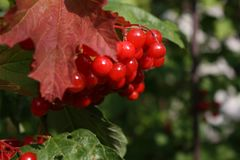 Red berries on a tree. In the early autumn Royalty Free Stock Photos