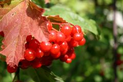 Red berries on a tree. In the early autumn Stock Image