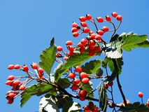 Red berries on the tree in sky background Royalty Free Stock Images