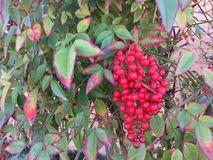 Red berries on a tree in winter Royalty Free Stock Photos