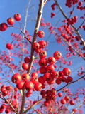 Red Berries on a Tree in Winter. Stock Image