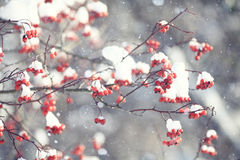 Red berries under snow Royalty Free Stock Photography