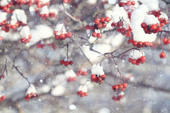 Red berries under snow Stock Photo