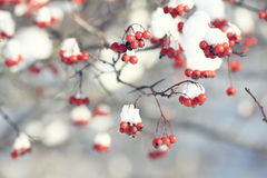 Red berries under snow Royalty Free Stock Photos