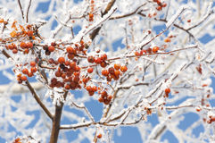 Red berries under snow. Over blue sky Stock Photo