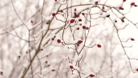 Frosted berries in the park on a tree. Winter. Red berries under snow, snow, background, mountain ash, hawthorn. Frosted berries in the park on a tree stock video footage