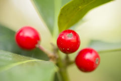 Red berries of undergrowth bushes Royalty Free Stock Photography