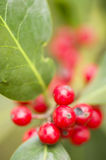 Red berries of undergrowth bushes Stock Photo