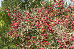 Red berries of undergrowth bushes Royalty Free Stock Images