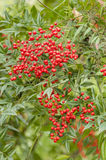 Red berries of undergrowth bushes Stock Photos