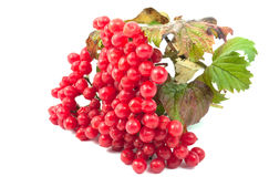 Red berries of Viburnum. On a white background Royalty Free Stock Photography