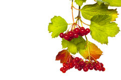 Red berries of the viburnum Royalty Free Stock Image